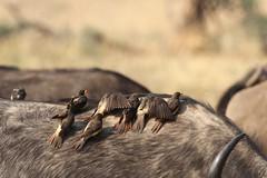 Buphagus africanus & Syncerus caffer (Dindingwe) Tags: zambia southluangwa oxpecker synceruscaffer africanbuffalo yellowbilledoxpecker zambie buphagusafricanus buffledafrique piquebœuf piquebœufàbecjaune