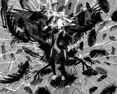 35 my editor (emifly) Tags: blackandwhite bw bird skull wings feathers xray scream crow cracked transform