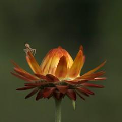 Sur le fil du rasoir *** (Titole) Tags: orange spider squareformat araigne everlastingflower immortelle araignecrabe friendlychallenges starsaward diamondsawards thechallengefactory storybookwinner titole nicolefaton