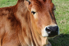Zebu Caroxi  Explore # 18 ( 1-9-2014 Thanks (excellentzebu1050) Tags: closeup cow cattle farm explore zebu animails africancattle zebucattle miniaturezebu alittlebeauty coth5 zebusaug2014