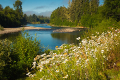 Daisies at Quillayute River (Benjamin Coy) Tags: sky mountains nature water clouds forest river washington rocks stream cascades forks 3rivers quillayuteriver forkswa quillayuteriverresort