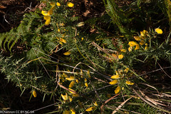 Isles of Scilly, Tresco Abbey, ulex gallii, jdy261 XX201109188648.jpg (rachelgreenbelt) Tags: uk greatbritain england mix europe cornwall unitedkingdom fabaceae gorse islesofscilly leguminosae floweringplants furze peafamily whin ulex dicots eudicots fabales flowersyellow orderfabales familyfabaceae rosids beanfamily ulexgallii legumefamily dicotyledons westerngorse commongorse divisionmagnoliophyta fabaceaefamily trescoabbey dwarffurze fabalesorder