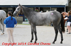 683 SILVER BEACH Tapit - Gotta Have Her colt (hoosiershadow78) Tags: usa lexington ky unitedstatesofamerica keeneland 683 tapit keenelandseptemberyearlingsale gottahaveher keenelandseptemberyearlingsa candicechavez septemberyearlingsale hip683