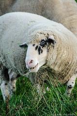 201408-Scharfe-7219 (jerdlingshof) Tags: green sheeps wz scharfe erdlingshof