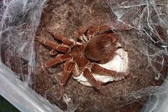 """Theraphosa stirmi eggsack no2 • <a style=""""font-size:0.8em;"""" href=""""http://www.flickr.com/photos/77637771@N06/15223366575/"""" target=""""_blank"""">View on Flickr</a>"""