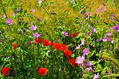 130_6945 (J Rutkiewicz) Tags: flower flora kwiaty medow łąka polishflowers