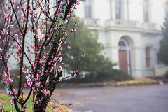 Cherry Blossoms - Aradale (Molly Voigt) Tags: morning pink flowers urban white building history fog rural canon hospital cherry 50mm early decay ghost blossoms australia victoria cherryblossoms decrepit tours administration asylum psychiatric psychiatrichospital mentalasylum mental ararat canon50mm 60d canon60d aradale abandoned94