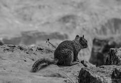 Squirrel - Grand Canyon (makxys) Tags: park usa white black america canon eos united grand canyon national states amerika schwarz 2014 staaten weis schwarzweis vereinigte 700d