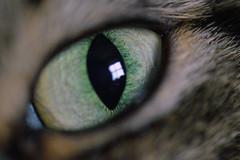 Oscars Eye (EP100) Tags: macro eye cat catseye 105mm