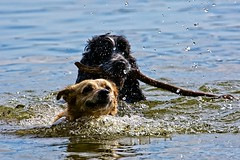 Swimming Buddies. (jayneboo) Tags: odc winnersorlosers racing stick swimming fetch dogs friends buddies cockerspaniel mongrel eddie bertie pets colemere shropshire lake 365 mrts365 water droplets dogphotographyshropshire