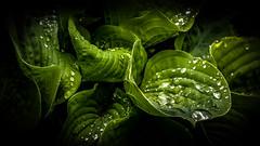 Rain drops on green leaf (N