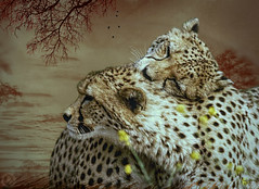 Cheetah Tenderness (maom_1 (Off, most of the time)) Tags: digitalpainting digitalcollage