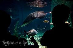 Arapaima and Pacu (LesPierre) Tags: amazon arapaima pacu floodedforest aquariaklcc