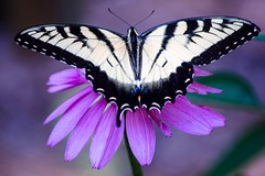Fanfare (Maggggie) Tags: easterntigerswallowtail wallowtail butterfly yellow pink flower cone black explored