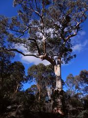 Majestic (LeelooDallas) Tags: york sky cloud tree landscape bush nikon dana australia perth western coolpix s9100 iwachow woottating