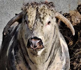 A bull in a farmyard