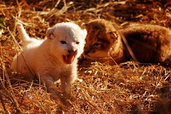 Lion cubs in Kruger (atriray) Tags: southafrica siblinglove playful cuteness krugernationalpark raresighting brotherhood siblings lioncub whitelion