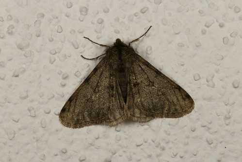 Phigalia pilosaria