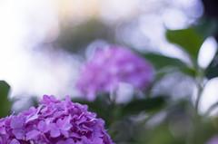 Hydrangea (ΞSSΞ®®Ξ) Tags: ξssξ®®ξ pentax k5 2016 green garden lazio italy perspective flower blooming colors depthoffield plant smcpentaxm50mmf17 bokeh outdoor summer