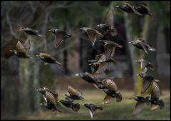 A Murmuration Of Starlings (Rodrick Dale) Tags: murmuration starlings bird flight flock action