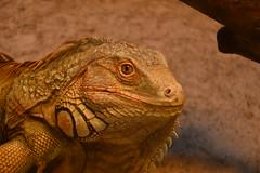 Reptile Park, Oslo (norella.giorgia) Tags: iguana reptile reptilepark oslo norway nikon d5500 rettile animal