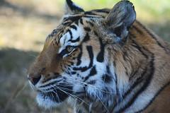 His Majesty (Giulia Gasparoni) Tags: fierce proud macro detail details tiger tigers feline felines animal animals wild wildanimals wildanimal africa african beautiful amazing wonderful nature stripes big cat cats majesty