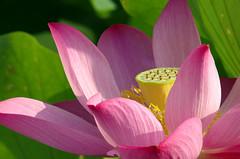 中興新村 荷花 (*。♪・ GEORG ゚♫*。) Tags: pentax lotus taiwan 南投 k5 中興新村 荷花 蓮花 nantou fa400f56 fa400 smcpentaxfa400mmf56ifed