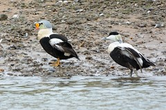King And Commoner. (stonefaction) Tags: nature birds scotland king aberdeenshire wildlife estuary eider newburgh faved ythan
