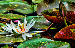 Tell Me What You See (DigitalLUX) Tags: red summer white flower green nature yellow photography petals flora nikon waterlily purple florida tropical nymphaea nenfar lotusflower aquaticplant fairchildtropicalgarden