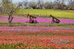 Antique Pump Jacks in Wildflowers