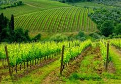 Vineyard 9 (lotti roberto) Tags: vineyards vigneti toscana tuscany valdipesa verde green saariysqualitypictures fav25 fav50 fav75 fav100 fav125