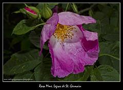 ROSA MME. LEGRAS DE ST .GERMAIN (luisrguez) Tags: espaa macro spain es wwwrodriguezymoyanofotografoses