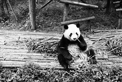 (JC.Murphy) Tags: china morning travel bw baby white holiday black cute film animal breakfast zeiss giant 50mm zoo panda kodak trix rangefinder tourist bamboo research chengdu sichuan ikon base