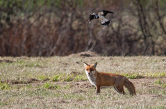 Fox and Magpie Lark-6513 (rawshorty) Tags: australia canberra act rawshorty