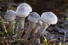 Cortinarius hemitrichus (hph46) Tags: mushroom deutschland frosty fungus pilz webcap langeloh cortinariushemitrichus weisflockigergrtelfus