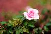 super rose bokeh 50 1.4 (ChristianRock) Tags: roses pentax bokeh manual rikenon ricoh50mmf14 rikenon50mmf14 pentaxk20d rikenonxr50mmf14