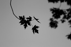 silhouette (Rhiannon Bayer) Tags: blackandwhite nature monochrome leaves silhouette grayscale greyscale