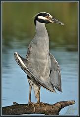 Zen Master (WanaM3) Tags: bird heron nature water night branch texas wildlife sony bayou pasadena canoeing paddling a77 yellowcrowned avianexcellence ycnh horsepenbayou sonya77 wanam3