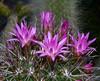Neoporteria wagenknechtii (nolehace) Tags: sanfrancisco cactus flower succulent spring bloom 614 wagenknechtii neoporteria nolehace fz35