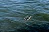 Manhattan_Beach_CA_0005 (josh-rodriguez) Tags: ocean california beach pier pacific manhattanbeach skimboarding skimboarder