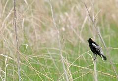 2014 Bobolink (DrLensCap) Tags: road bird robert wisconsin wildlife national marsh wi kramer dike refuge horicon mayville bobolink