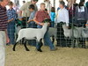 """Sheep 2014 • <a style=""""font-size:0.8em;"""" href=""""http://www.flickr.com/photos/78989085@N02/14692646390/"""" target=""""_blank"""">View on Flickr</a>"""