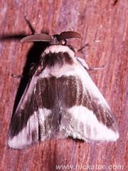 Flannel moth - Family  Megalopygidae - NMW 20 July 2014-084 (Dis da fi we) Tags: belize flannelmoth jungle megalopygidae moth puntagorda toledo wildlife nationalmothweek nationalmoth mothing cottages hickatee