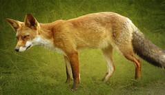 IMG_0240 hunting fox (pinktigger) Tags: wild holland netherlands dutch animal hunting nederland fox flevoland hunt volpe oostvaardersplassen