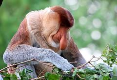 Pensive Proboscis Monkey (Ger Bosma) Tags: male monkey proboscismonkey nasenaffe longnez nasique nasalislarvatus neusaap nasica largenose bekantan monyetbelanda orangbelanda mononarigudo longnosedmonkey dutchmonkey singeàtrompe nosacz 2mg58533 mononásico носа́ч кахау nosaczsundajski