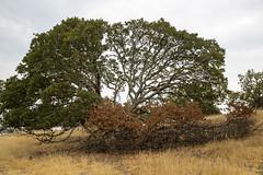 California Drought (Jill Clardy) Tags: california ca brown tree grass oak university dish loop hiking satellite hike trail drought stanford dying palo alto 4b4a6499