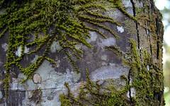 Callicoma 2 (dustaway) Tags: nature moss rainforest australia bark nsw trunk treebark lichen fissures australianflora blackwattle northernrivers nightcapnationalpark cunoniaceae australianplants australiantrees arfp nightcaprange australianrainforestplants callicoma silverleafbutterwood callicomaserratifolia vrfp nswrfp qrfp vicrfp marginalarfp warmtemperatearf repentancecreek northcoastbotanicalsubdivision 2bid814