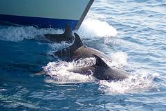 Delfines.  Dolphins. (jleisfotos) Tags