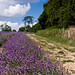 "Mayfield Lavender Farm • <a style=""font-size:0.8em;"" href=""http://www.flickr.com/photos/85489280@N00/14872629934/"" target=""_blank"">View on Flickr</a>"
