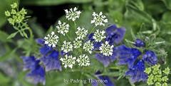 IMG_4268 (padraig thornton) Tags: flowers ireland light macro green nature closeup canon garden eos colorful natural 7d thornton 70200mm padraig macrounlimited pfjthorntongmailcom
